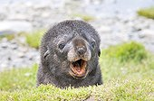 Antarctic Fur Seal pup barking South Georgia