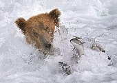 Brown Bear in water fishing Salmon Katmai NP Alaska ; Veolia Environnement Wildlife Photographer of the Year 2009<br>Animal Behaviour: Mammals - Highly Commended<br>White-water fishing<br><br>Concours National Nature Images Projetées (FPF)
