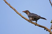 Asian Koel perched on a branch Bardia NP Nepal