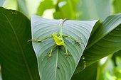 Green-crested Lizard Thailand