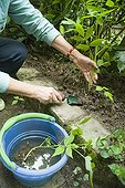 Digging out young raspberry shoots with trowel