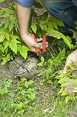 Cutting young shoots with secateurs