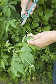 Pruning rose sideshoots with secateurs