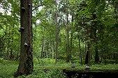 Forêt primaire Parc National de Bialowieza Pologne