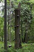 Arbre mort Parc National de Bialowieza Pologne