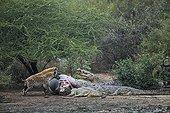 Hyenas and Nile Crocodile around death Common Hippopotamus ; Concours International de Photo Animalière et de Nature de Montier-en-Der 2011 - Category Séries numériques<br>Winner