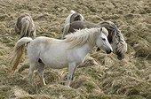 Poneys Islandandais dans la Péninsule Snaefellsnes Islande