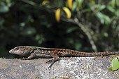 Guiana Whiptail Lizard Montagne de Kaw French Guiana
