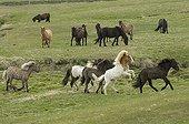 Icelandic horses Lagarfljot lake Egilstadir Iceland