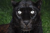 Portrait of Black Panther