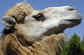 Portrait of Bactrian Camel Central Asia