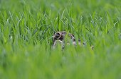 European Hare hidden in grass Vosges France