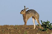 European Hare stretching in a field Vosges France