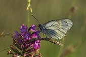 Black-veined White pollinating a flower France