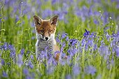 Young Red fox amongst bluebells spring Great Britain