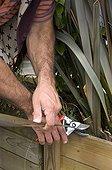 Cut of a New Zealand 'Atropurpureum'