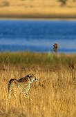 Cheetah approaching a watering place Pilanesbergreserve