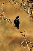 Greater blue-eared Starling on a branch Pilanesbergreserve
