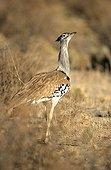 Kori Bustard in savanna Kruger South Africa