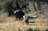 Young African elephant chasing a Cape buffalo Kruger