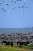 Horses and Flamingoes in flight Cape Agulhas South Africa