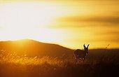 Springbok at dusk National Park Mountain Zebra South Africa