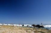 Autruches et Touristes Cap de Bonne Espérance Afrique du Sud