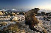 Otarie à fourrure Cap de Bonne Espérance Afrique du Sud