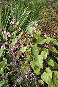 Bégonia en fleur dans un jardin en automne
