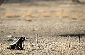 Honey badger biting a post Kgalagadi South Africa