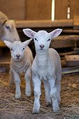Lambs in a sheep Franche-Comte France