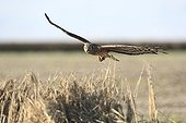 Hen Harrier female in approach to bring a prey in nest ; The farmer has protected the nest of Harriers avoiding mowing Barley on a parcel of 4mx4m. The animals are not killed and are then protected from predators. In two years of follow-up : 100% success to fledging.