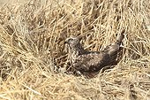 Hen Harrier female at nest in a protected parcel ; The farmer has protected the nest of Harriers avoiding mowing Barley on a parcel of 4mx4m. The animals are not killed and are then protected from predators. In two years of follow-up : 100% success to fledging.