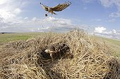 Hen Harrier female arriving at her protected nest ; The farmer has protected the nest of Harriers avoiding mowing Barley on a parcel of 4mx4m. The animals are not killed and are then protected from predators. In two years of follow-up : 100% success to fledging.