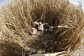 Montagu's Harrier chicks in their protected nest France ; The farmer has protected the nest of Harriers avoiding mowing Barley on a parcel of 4mx4m. The animals are not killed and are then protected from predators. In two years of follow-up : 100% success to fledging.