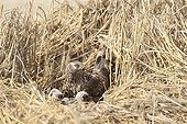 Hen Harrier female and chicks at nest France ; The farmer has protected the nest of Harriers avoiding mowing Barley on a parcel of 4mx4m. The animals are not killed and are then protected from predators. In two years of follow-up : 100% success to fledging.