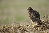 Montagu's Harrier juvenile exerted flying near the nest ; The farmer has protected the nest of Harriers avoiding mowing Barley on a parcel of 4mx4m. The animals are not killed and are then protected from predators. In two years of follow-up : 100% success to fledging.