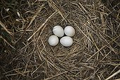 Montagu's Harrier eggs in the nest France ; The farmer has protected the nest of Harriers avoiding mowing Barley on a parcel of 4mx4m. The animals are not killed and are then protected from predators. In two years of follow-up : 100% success to fledging.