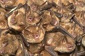 Breeding colony of Geoffroy's Myotis Isere France