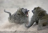 Babouins doguera se battant pour une gazelle RN Masaï Mara
