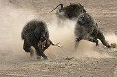 Anubis baboons fighting for gazelle Masai Mara NR Kenya