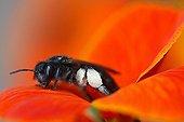 """Carpenter bee on flower Wallflower 'Bedder Orangely """""""