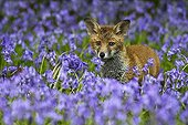 Young Red fox amongst bluebells spring GB