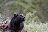 Black panther lying in the grass