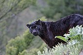 Black panther standing in the grass
