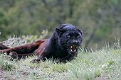 Black Panther aggressive lying in the grass