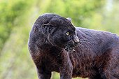 Black Panther fearful