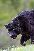 Black panther walking in the grass