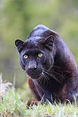 Black panther looking in the grass