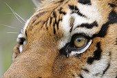 Regard de Tigre de Sibérie